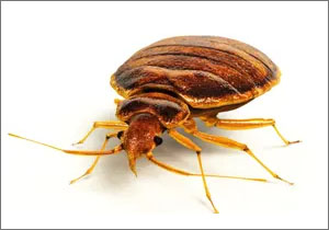 Termite Ant  NYC All Out Bed Bug Exterminating
